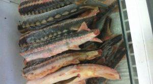 صادرات ماهیان خاویاری به باکو و ارمنستان
