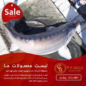 خرید و فروش ماهی بلوگا از شرکت خاویار بلوگا
